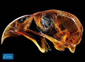 Papageienschädel (Strigops habroptilus), Auflösung 80µm